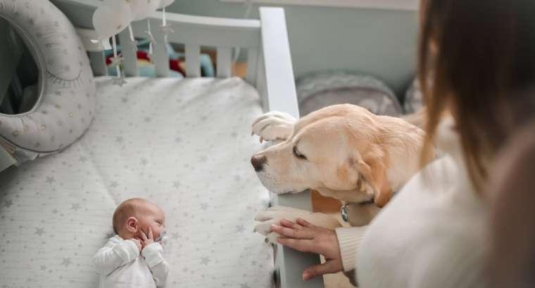 Si të prezantosh foshnjën me qenin
