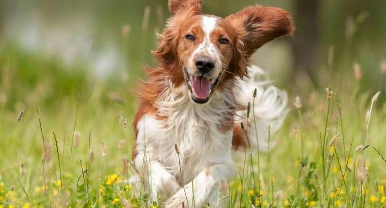Si të ridrejtosh vëmendjen e një qeni